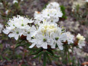 Finnmarksporsen blomstrer