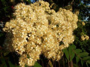 Blomstrene på rognetreet
