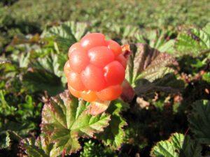 Multebæra – viddas gull